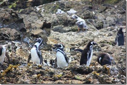 Nos copains les pingouins