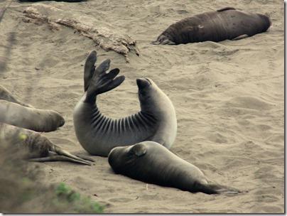 Eléphants de mer - Ca fait du bien de s'étirer...